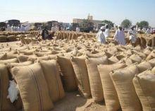 (5) آلاف جوال سمسم وارد اليوم الأول لسوق المحاصيل بالقضارف