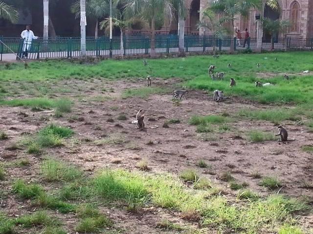قرود جامعة الخرطوم