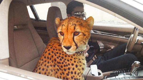 نمر في دبي