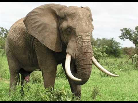 افيال