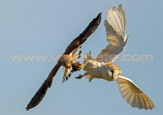 صقر يسرق طعام بومة أثناء الطيران في الهواء