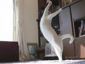 قطة ترقص الباليه تشعل مواقع التواصل الاجتماعي