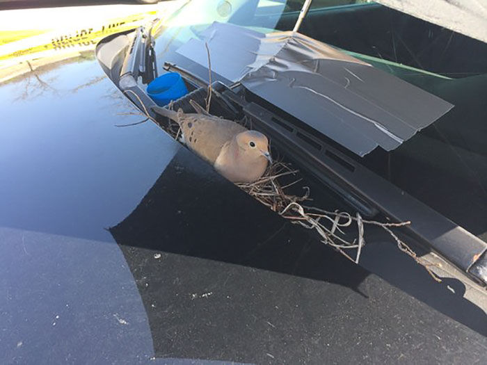 ماذا فعل ضباط شرطة مع حمامة بنت عش فوق سيارتهم