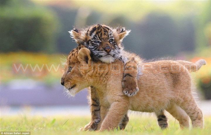 بالصور.. صداقة غريبة تجمع بين شبل أسد ونمر صغير