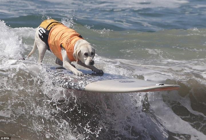65 كلبا يشاركون بمسابقة ركوب الأمواج في كاليفورنيا