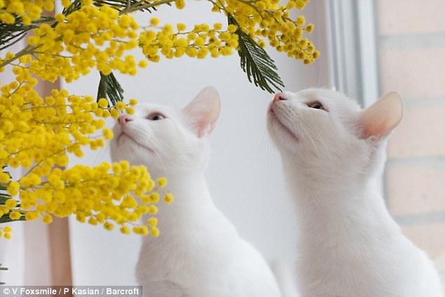 قطتان تشعلان إنستجرام بسبب حالة وراثية نادرة - قطة - قطط