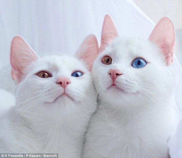 قطتان تشعلان إنستجرام بسبب حالة وراثية نادرة - قطة - قطط4