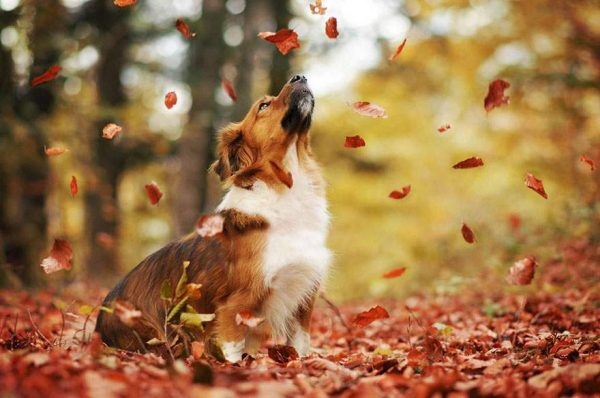 فنانة تلتقط صور مدهشة لكلاب تستمتع بفصل الخريف1