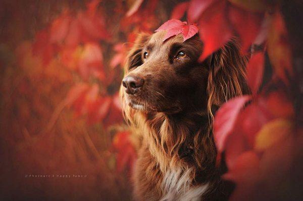 فنانة تلتقط صور مدهشة لكلاب تستمتع بفصل الخريف4