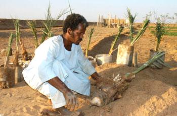 مجموعة إماراتية تزرع 221 مليون نخلة بالشمالية - زراعة