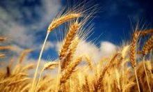 سعود البرير : جهات تتآمر علينا لتضرر مصالحها في تجارة القمح