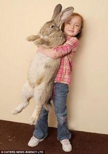"""أكبر أرنب في العالم يدخل """"جينيس"""" بـ 22 كيلو و4 آلاف جزرة سنوياً"""