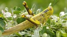 وقاية النباتات : عشرة ألف لتر من المبيدات لمكافحة الجراد الصحراوي بإريتريا