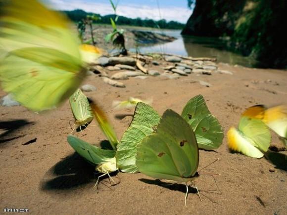 فراشات ضفاف النهر ذات الأجنحة الخضراء