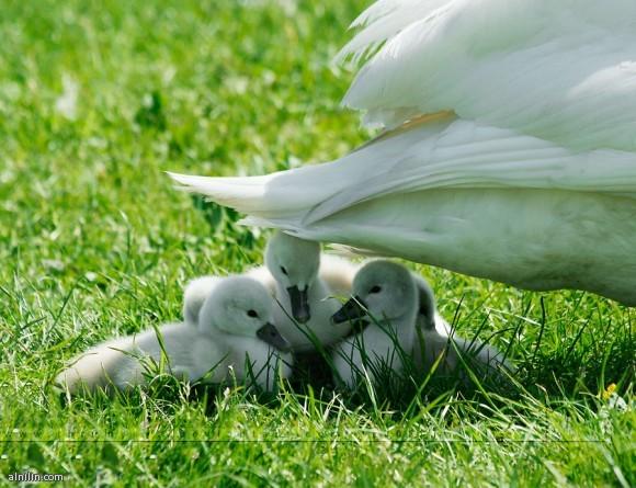بطة تحمي صغارها من أشعة الشمس