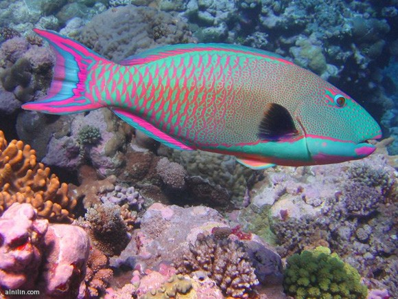 سمكة الببغاء أو الحريد