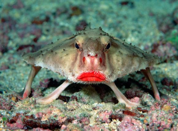 سمكة الخفاش ذات الشفاه الحمراء