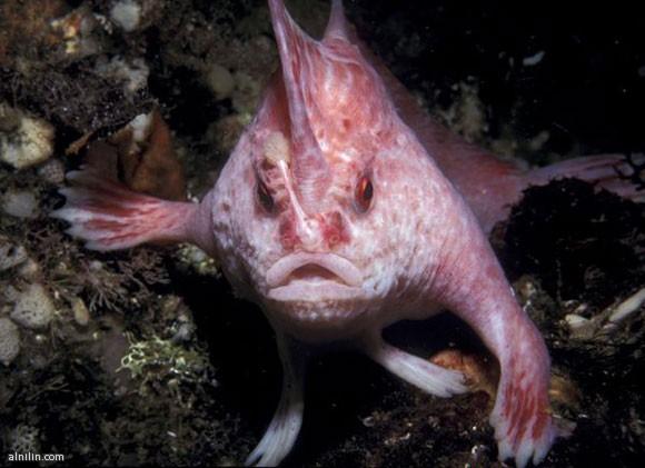 لسمكة الوردية ذات اليد - من الأسماك التي تسير على قاع البحر