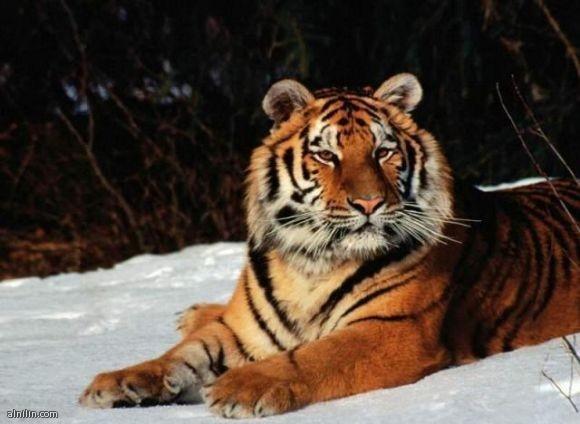 صورة لنمر يجلس على الجليد