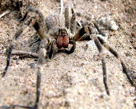 أخطر 10 مخلوقات في العالم -العنكبوت البرازيلى الجوال The Brazilian wandering spider