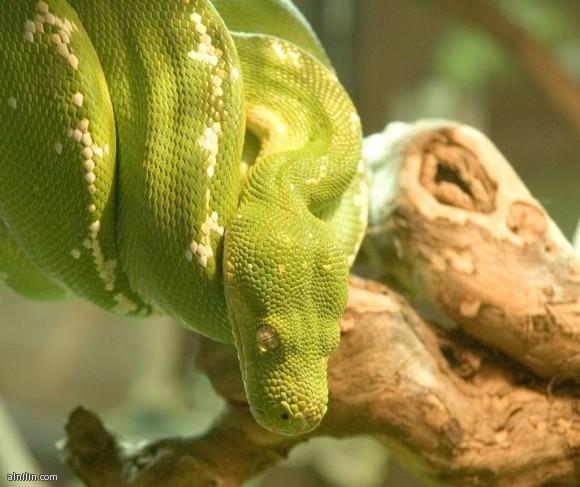ثعبان شجرة بيثون الأخضر - يوجد هذا الثعبان في غينيا وإندونيسيا وموطنه الأصلي في استراليا