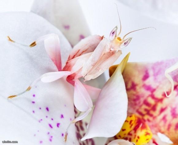 سرعوف الأوركيد الماليزى - اجمل حشرات العالم