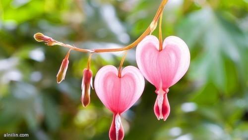 زهرة القلب النازف - اكتسبت هذا الاسم من شكلها الشبيه بقلب تتساقط منه نقاط بلون الدم، وتأتي بثلاثة ألوان هي الوردي والأحمر والأبيض