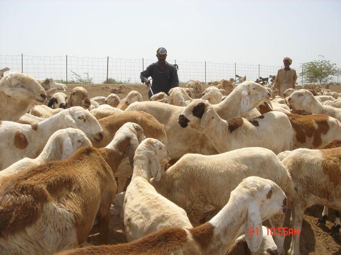 تصدير مليون رأس من الماشية لمصر العام الجاري